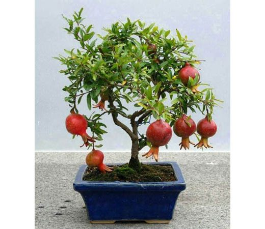 chollo-bonsai-3