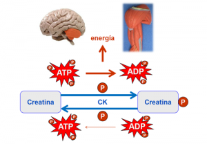 Monohidrato de creatina ATP